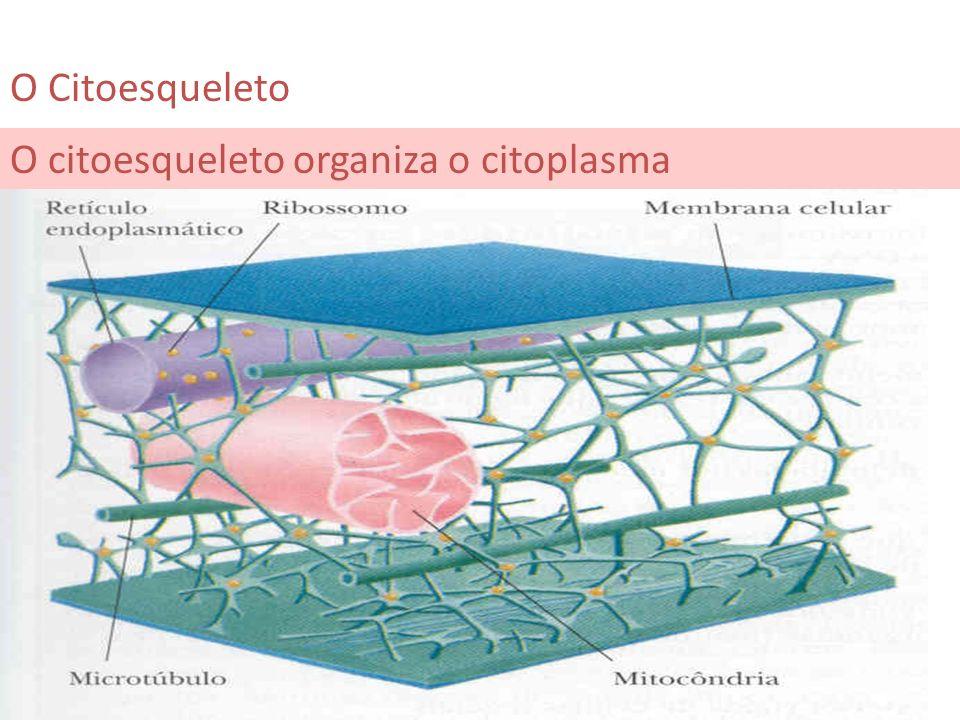 O Citoesqueleto O citoesqueleto organiza o citoplasma