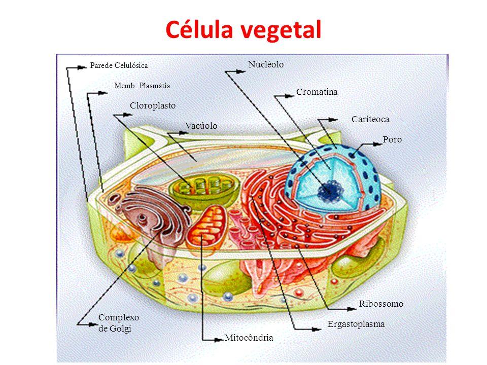 Célula vegetal Nucléolo Cromatina Cloroplasto Cariteoca Vacúolo Poro