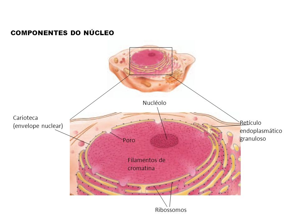 COMPONENTES DO NÚCLEONucléolo. Carioteca (envelope nuclear) Retículo endoplasmático granuloso. Poro.