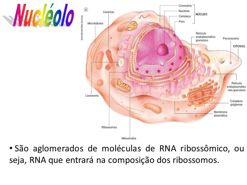 NucléoloSão aglomerados de moléculas de RNA ribossômico, ou seja, RNA que entrará na composição dos ribossomos.