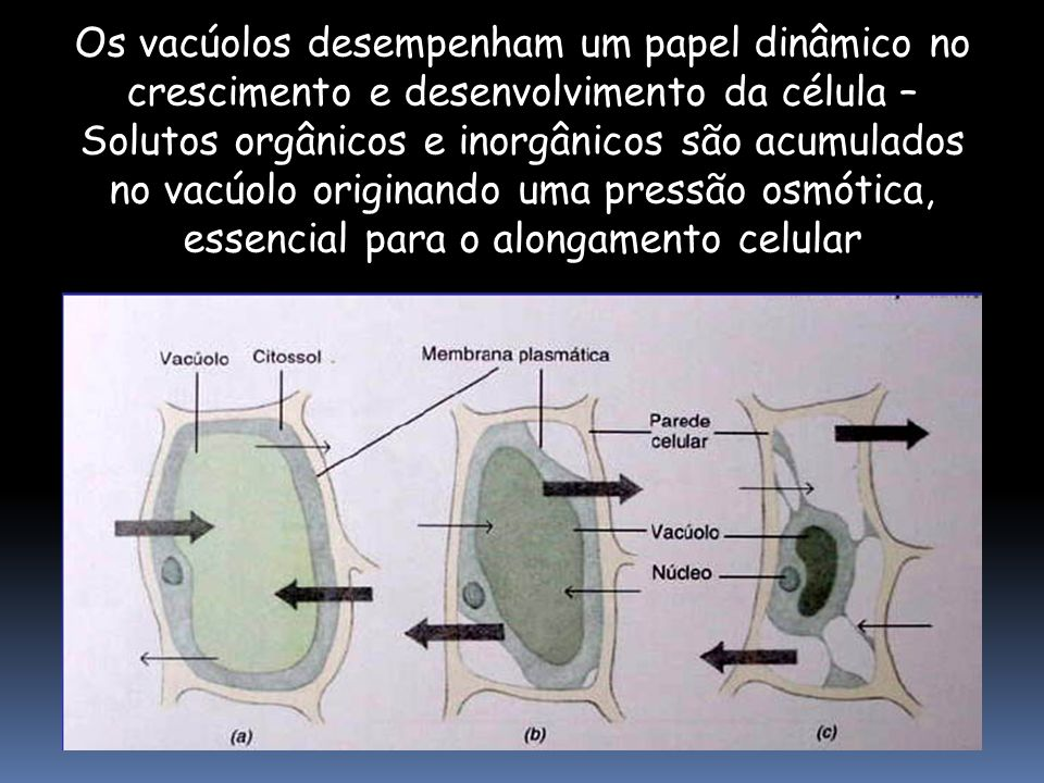 Os vacúolos desempenham um papel dinâmico no crescimento e desenvolvimento da célula –