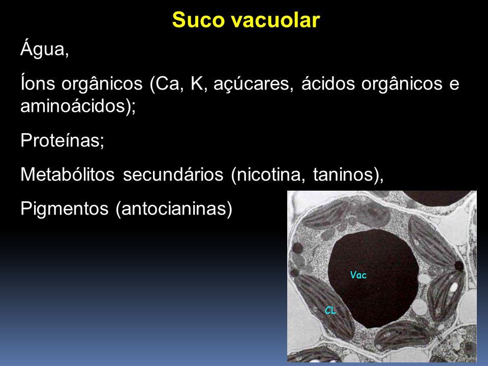 Suco vacuolar Água, Íons orgânicos (Ca, K, açúcares, ácidos orgânicos e aminoácidos); Proteínas; Metabólitos secundários (nicotina, taninos),