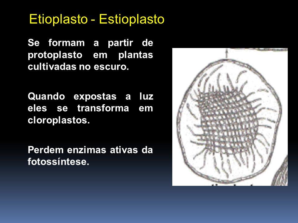 Etioplasto - Estioplasto