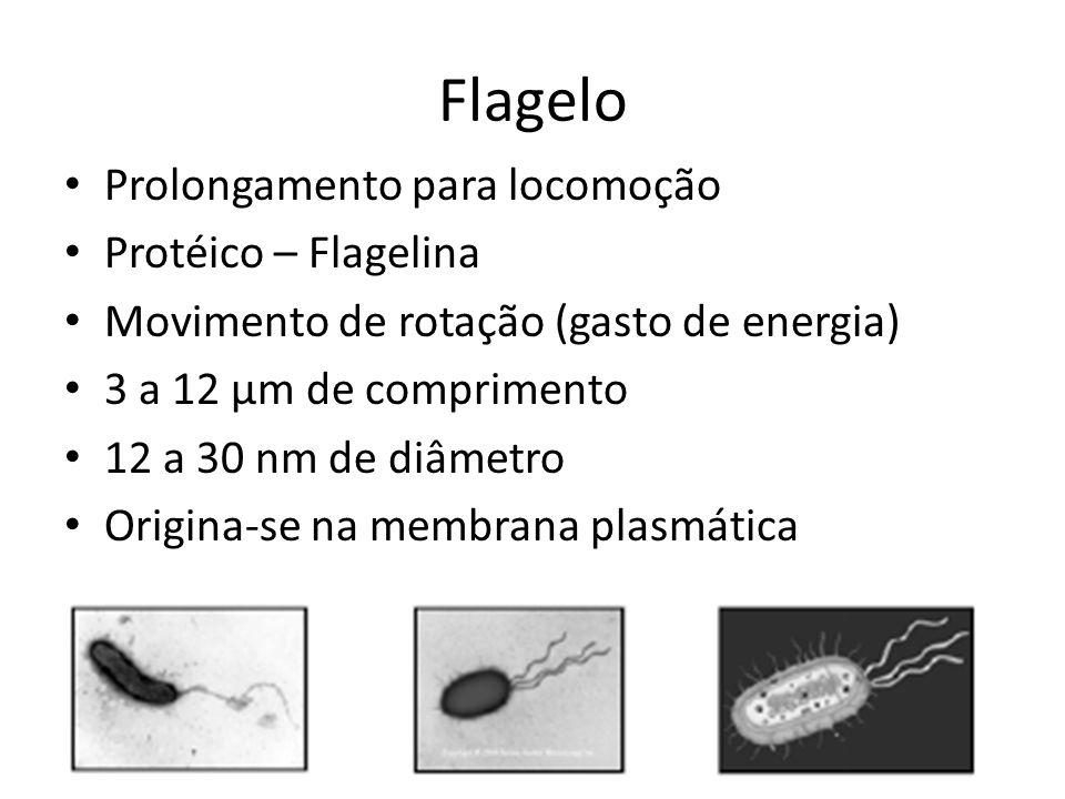 Flagelo Prolongamento para locomoção Protéico – Flagelina