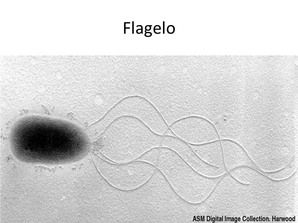 Flagelo