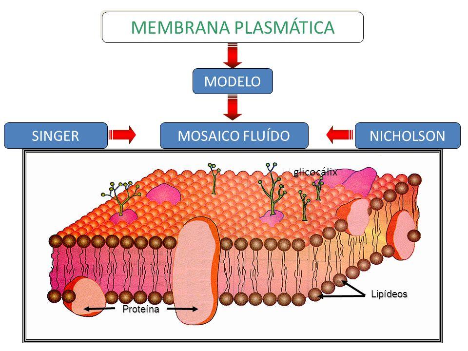 MEMBRANA PLASMÁTICA SINGER NICHOLSON MODELO MOSAICO FLUÍDO