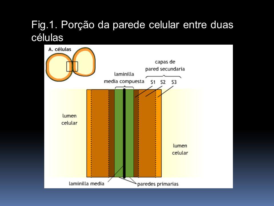 Fig. 7.6. Porción de pared celular entre dos células