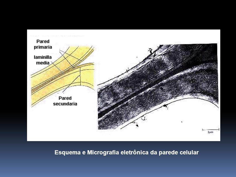 Esquema e Micrografia eletrônica da parede celular