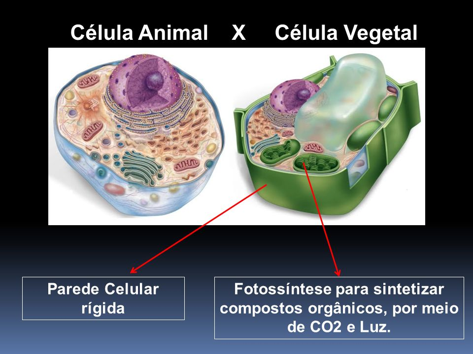 Célula Animal X Célula Vegetal