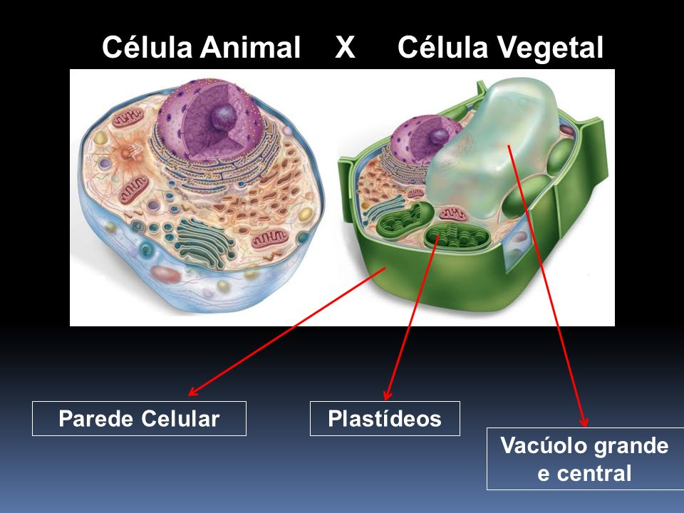 Célula Animal X Célula Vegetal Vacúolo grande e central