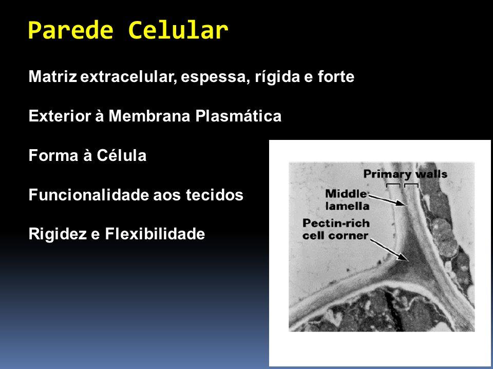 Parede Celular Matriz extracelular, espessa, rígida e forte