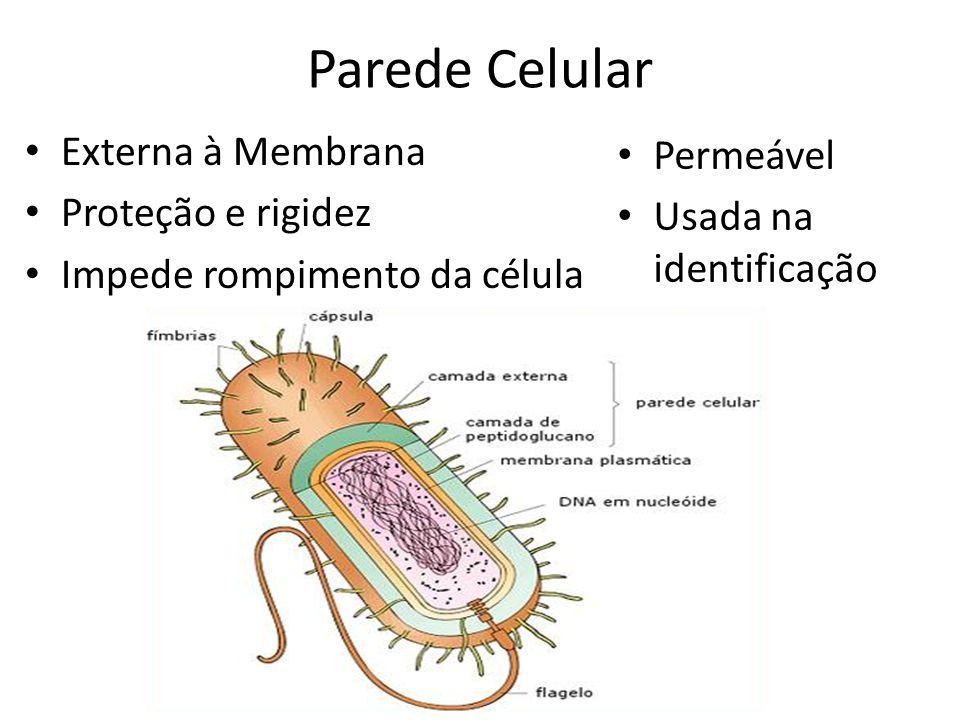 Parede Celular Externa à Membrana Permeável Proteção e rigidez