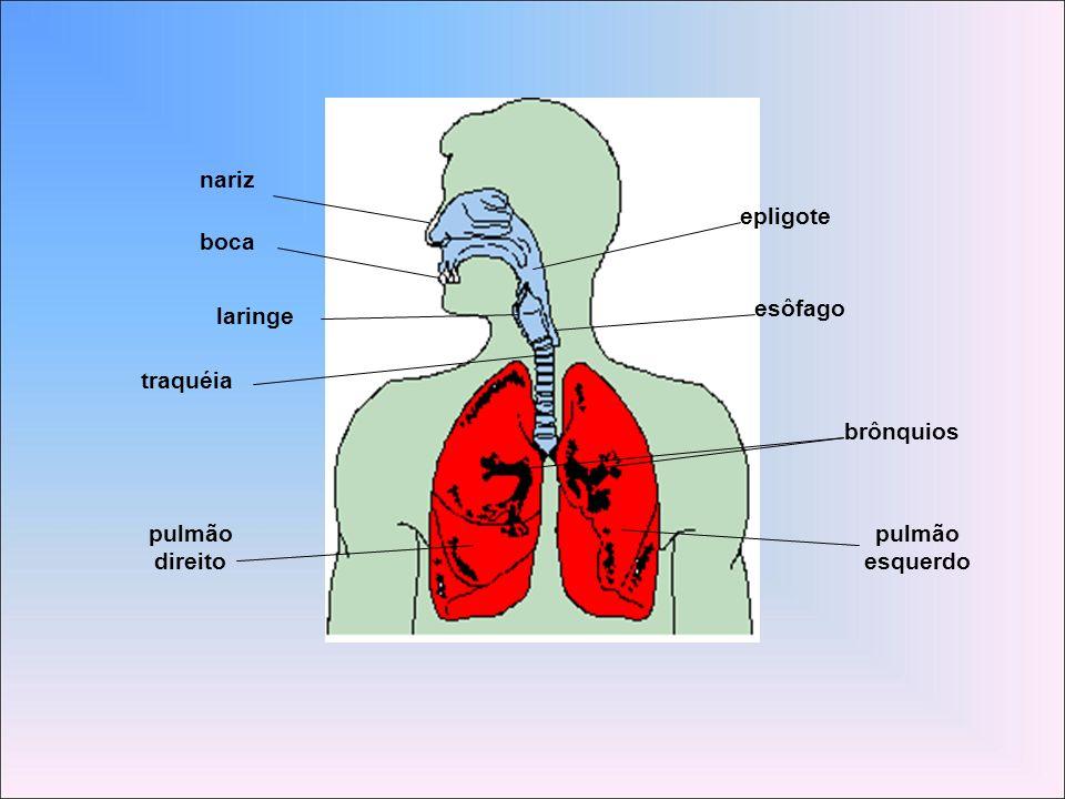 nariz boca laringe traquéia pulmão direito esquerdo brônquios epligote esôfago