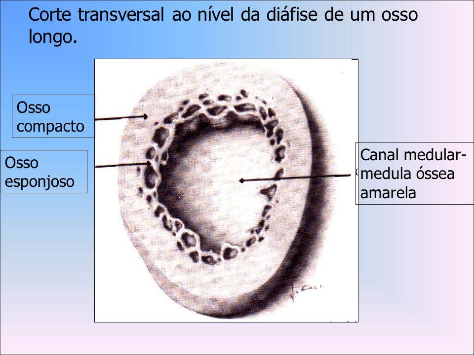 Corte transversal ao nível da diáfise de um osso longo.