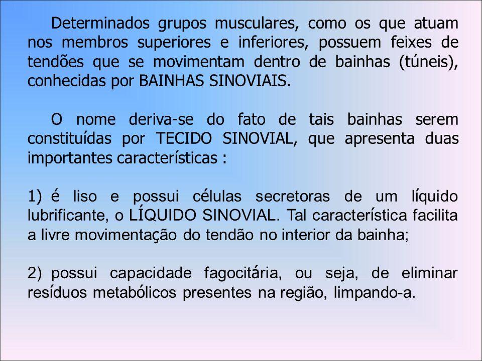 Determinados grupos musculares, como os que atuam nos membros superiores e inferiores, possuem feixes de tendões que se movimentam dentro de bainhas (túneis), conhecidas por BAINHAS SINOVIAIS.