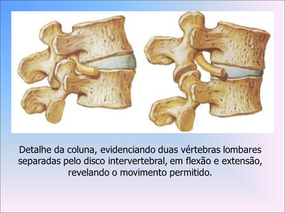 Detalhe da coluna, evidenciando duas vértebras lombares separadas pelo disco intervertebral, em flexão e extensão, revelando o movimento permitido.