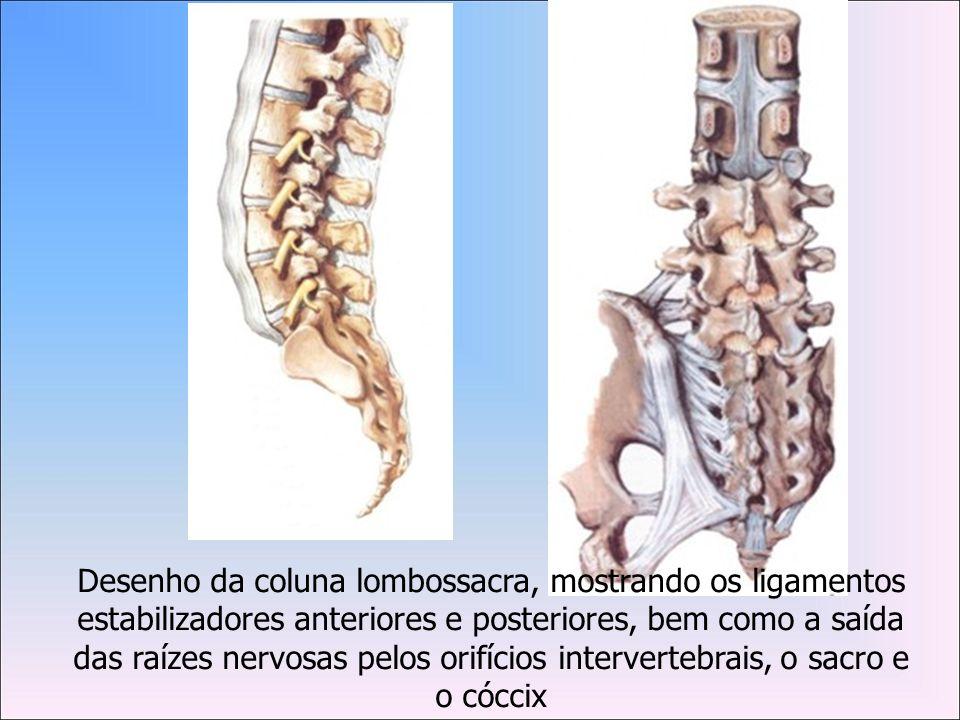 Desenho da coluna lombossacra, mostrando os ligamentos estabilizadores anteriores e posteriores, bem como a saída das raízes nervosas pelos orifícios intervertebrais, o sacro e o cóccix