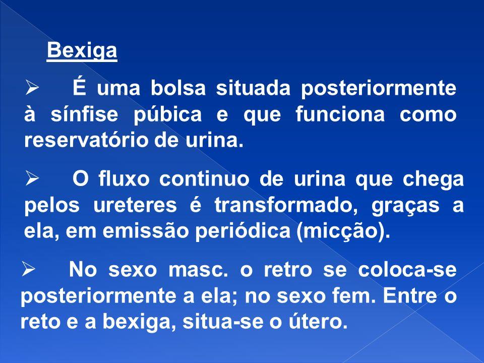 BexigaÉ uma bolsa situada posteriormente à sínfise púbica e que funciona como reservatório de urina.