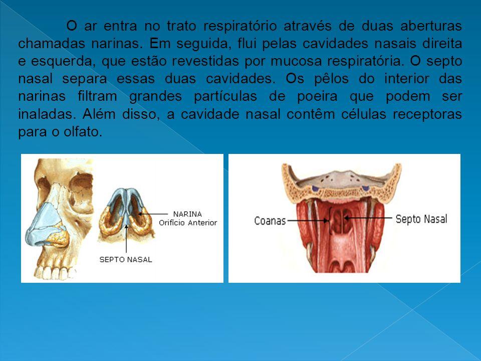 O ar entra no trato respiratório através de duas aberturas chamadas narinas.