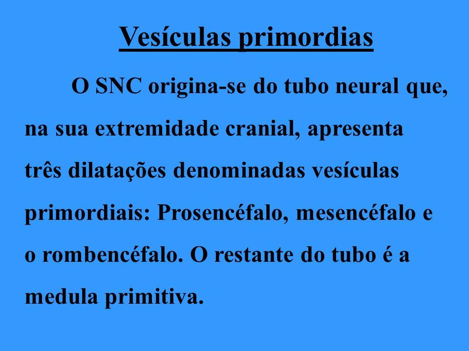 Vesículas primordias O SNC origina-se do tubo neural que,