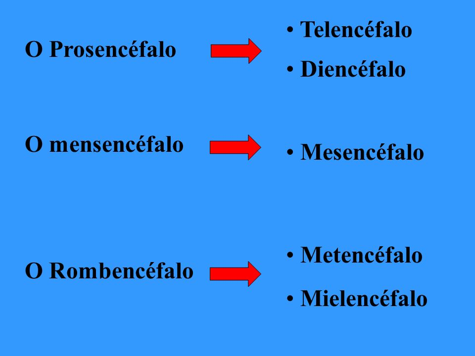 Telencéfalo O Prosencéfalo. Diencéfalo. O mensencéfalo. Mesencéfalo. Metencéfalo. O Rombencéfalo.