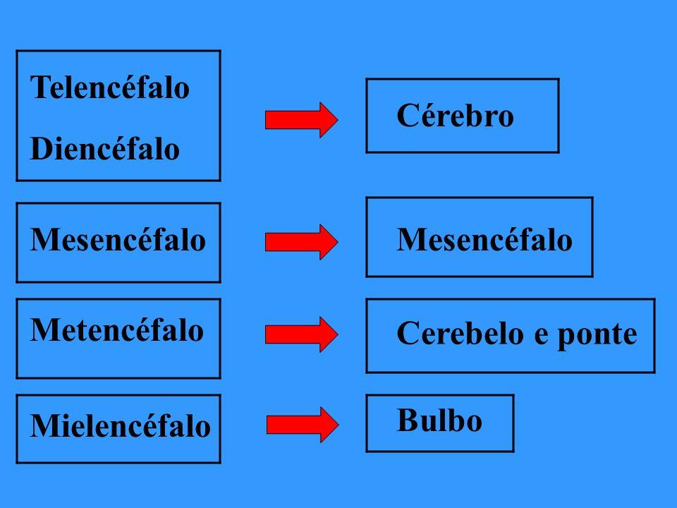 Telencéfalo Diencéfalo. Cérebro. Mesencéfalo. Mesencéfalo. Metencéfalo. Cerebelo e ponte. Bulbo.