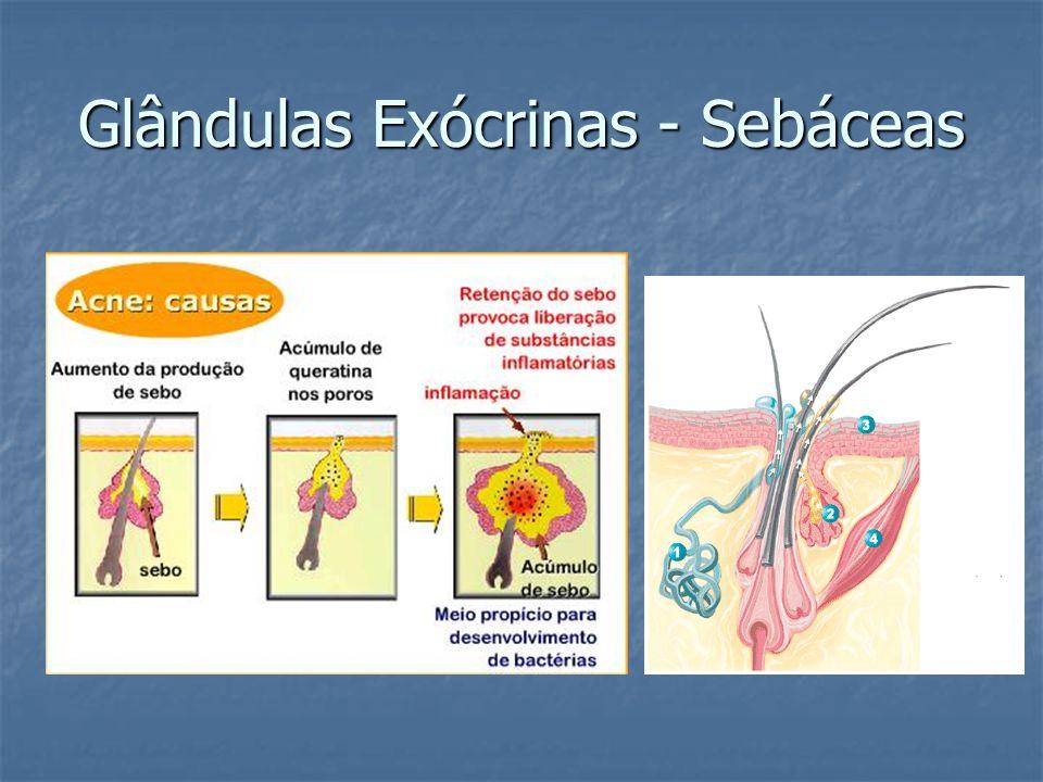 Glândulas Exócrinas - Sebáceas