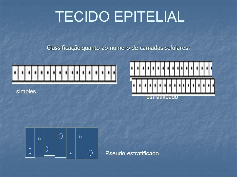 Classificação quanto ao número de camadas celulares: