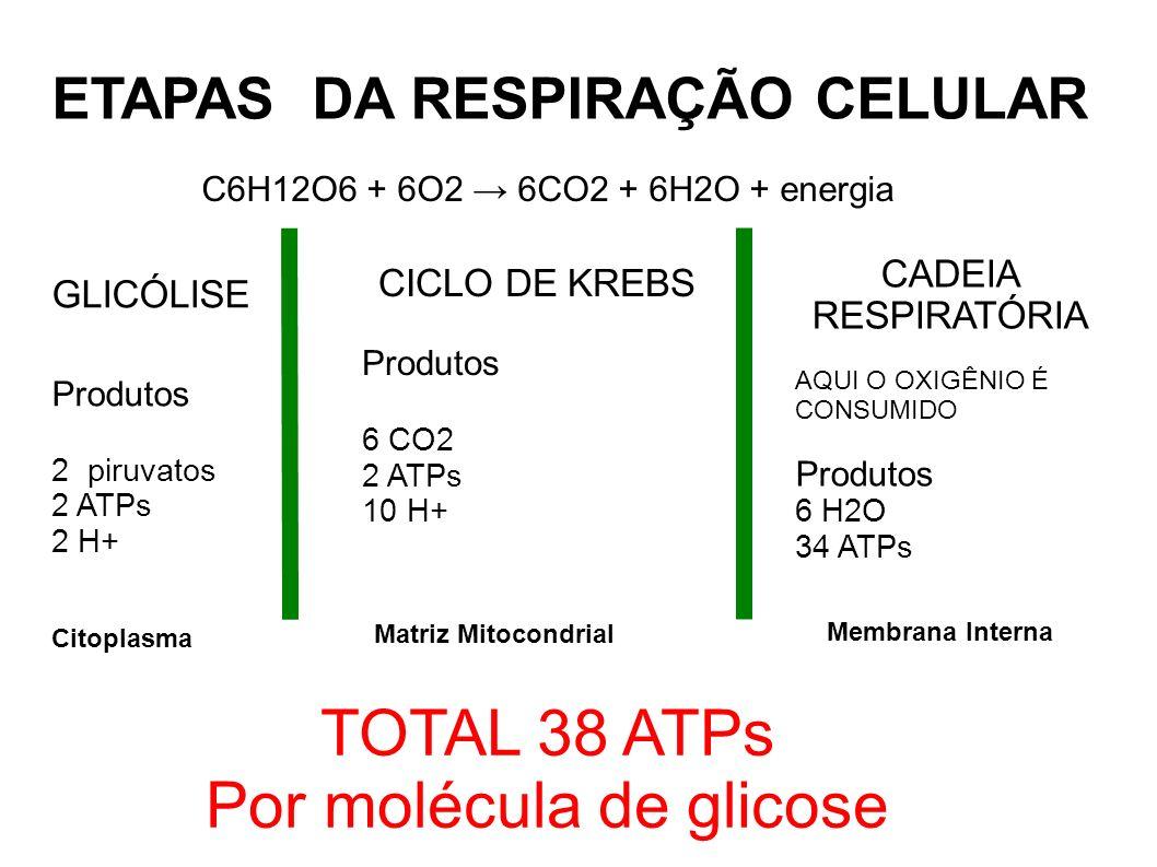 Por molécula de glicose