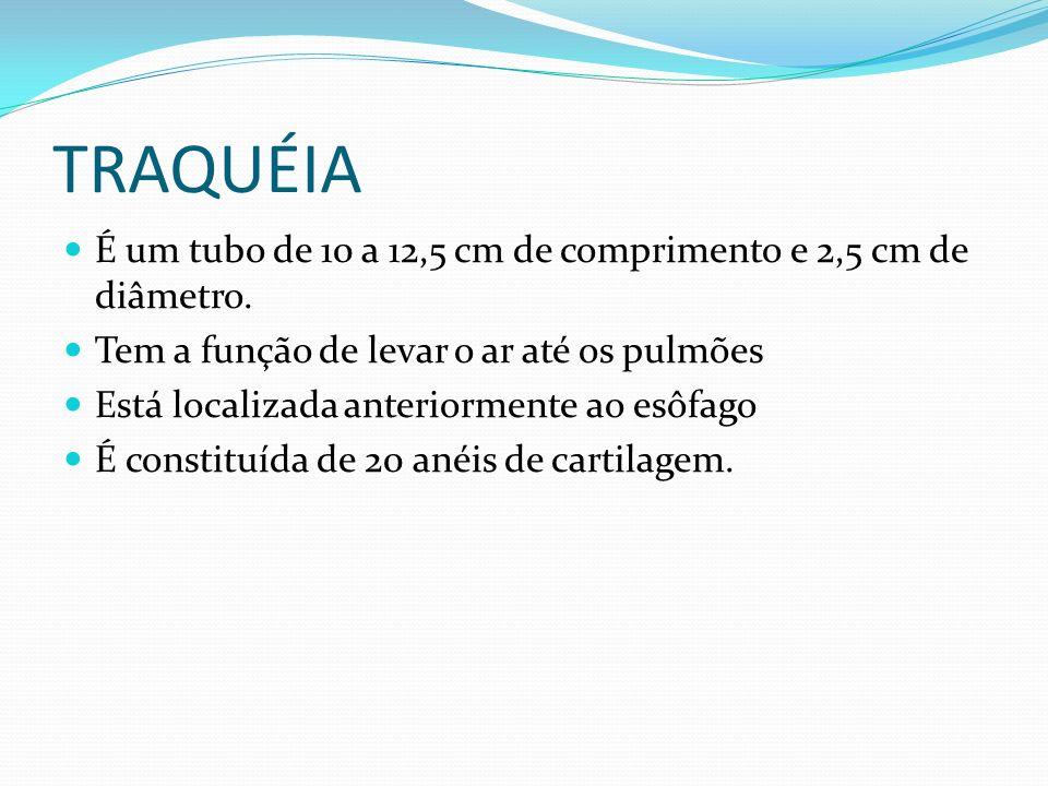 TRAQUÉIA É um tubo de 10 a 12,5 cm de comprimento e 2,5 cm de diâmetro. Tem a função de levar o ar até os pulmões.
