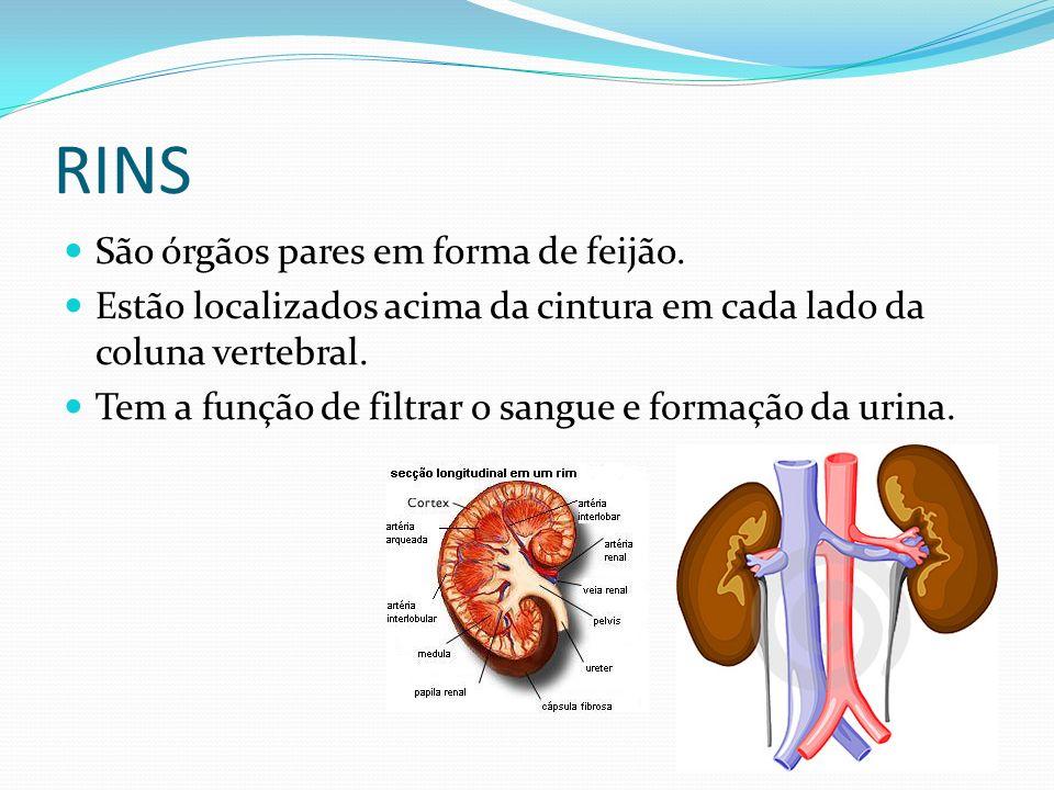 RINS São órgãos pares em forma de feijão.