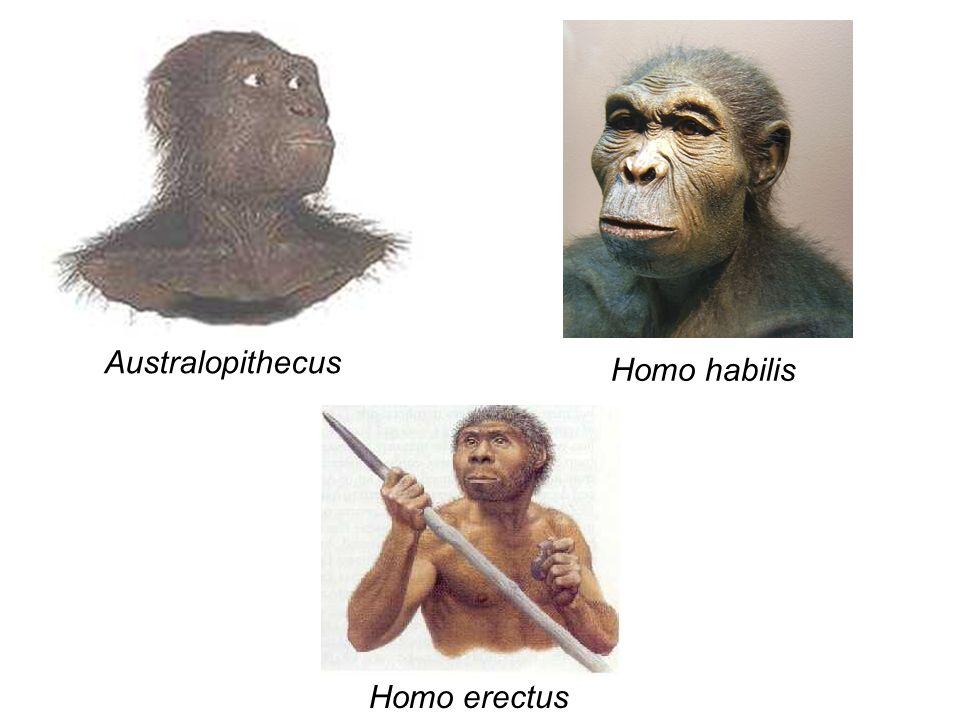 Australopithecus Homo habilis Homo erectus