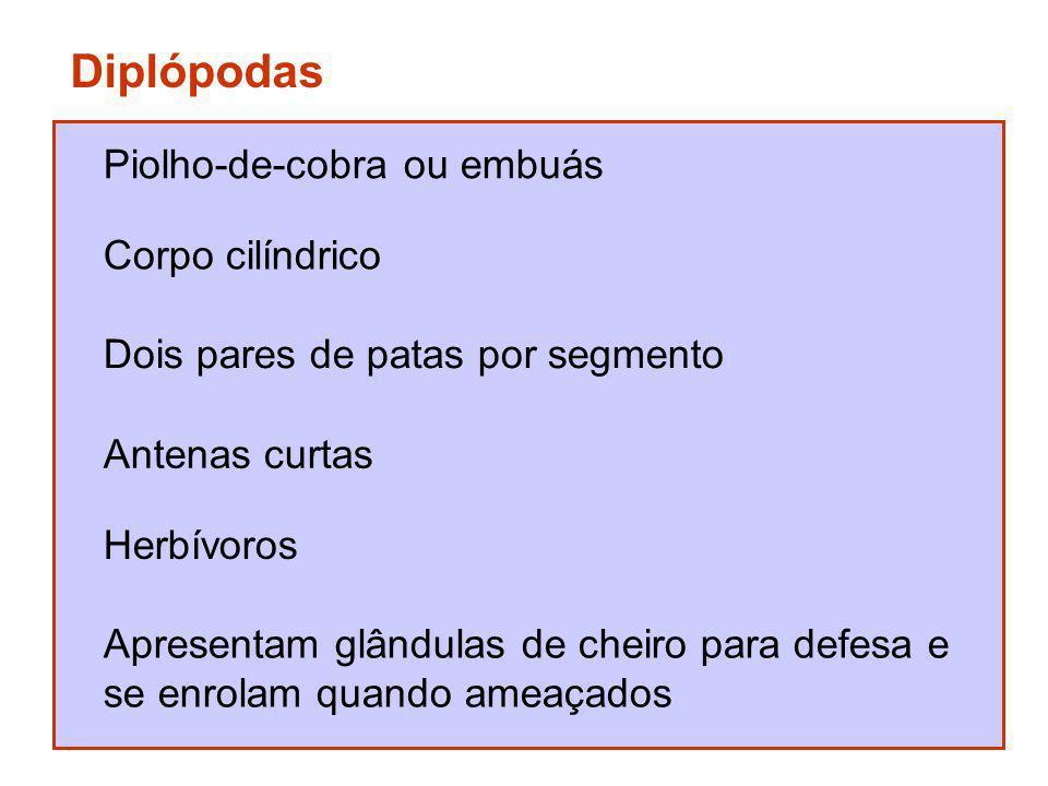 Diplópodas Piolho-de-cobra ou embuás Corpo cilíndrico