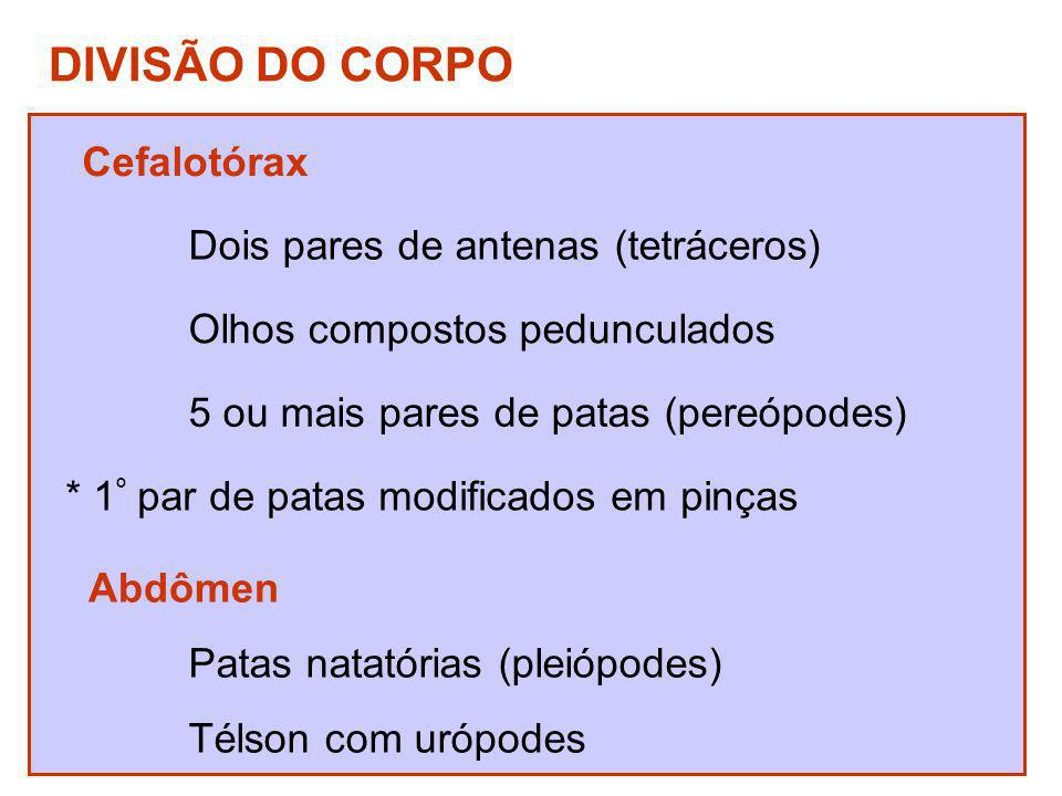 DIVISÃO DO CORPO Cefalotórax Dois pares de antenas (tetráceros)