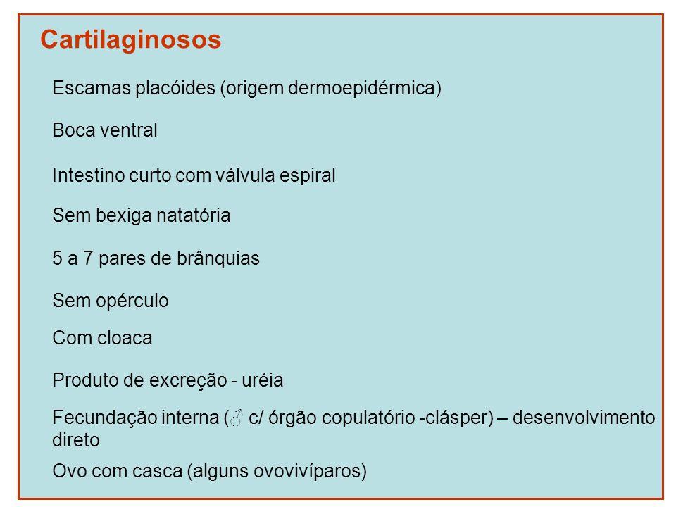 Cartilaginosos Escamas placóides (origem dermoepidérmica) Boca ventral