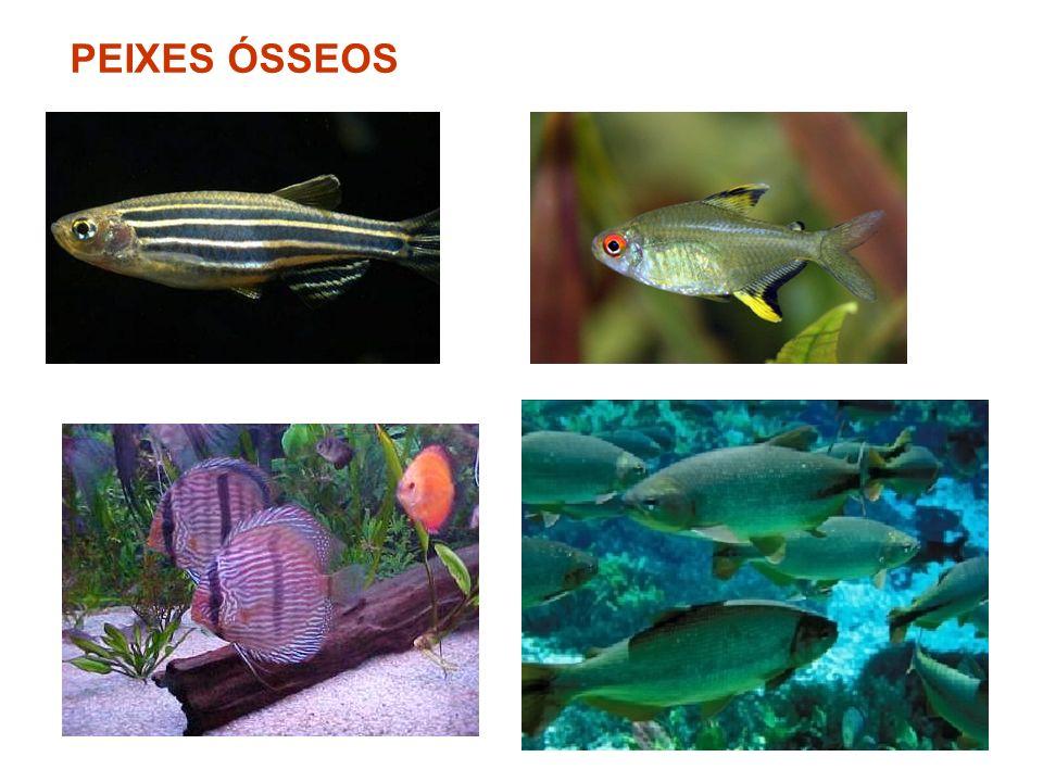 PEIXES ÓSSEOS