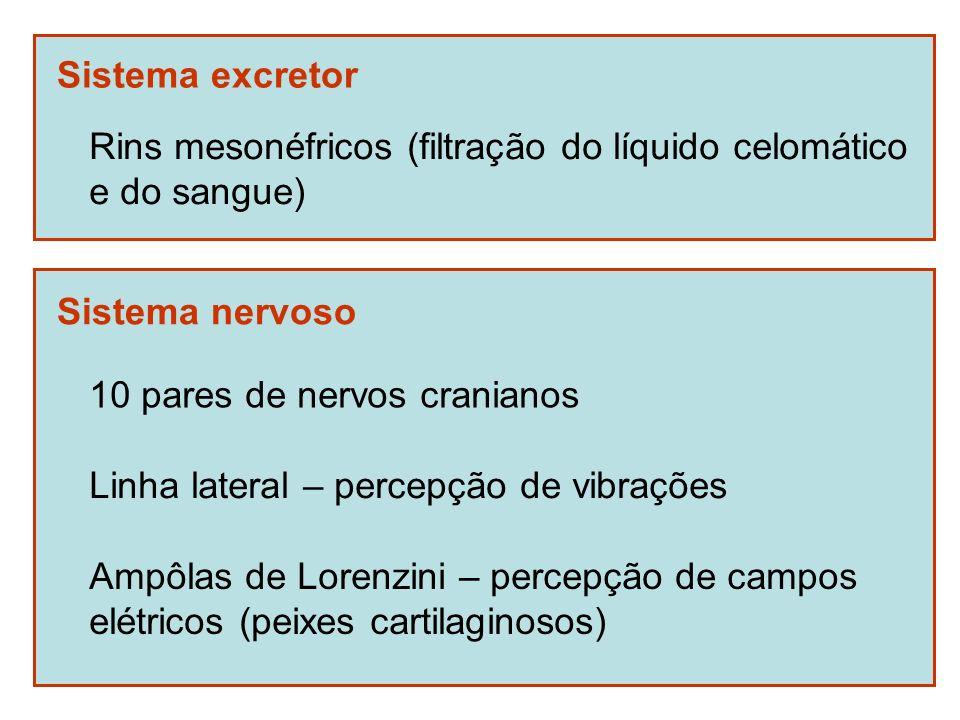 Sistema excretor Rins mesonéfricos (filtração do líquido celomático. e do sangue) Sistema nervoso.