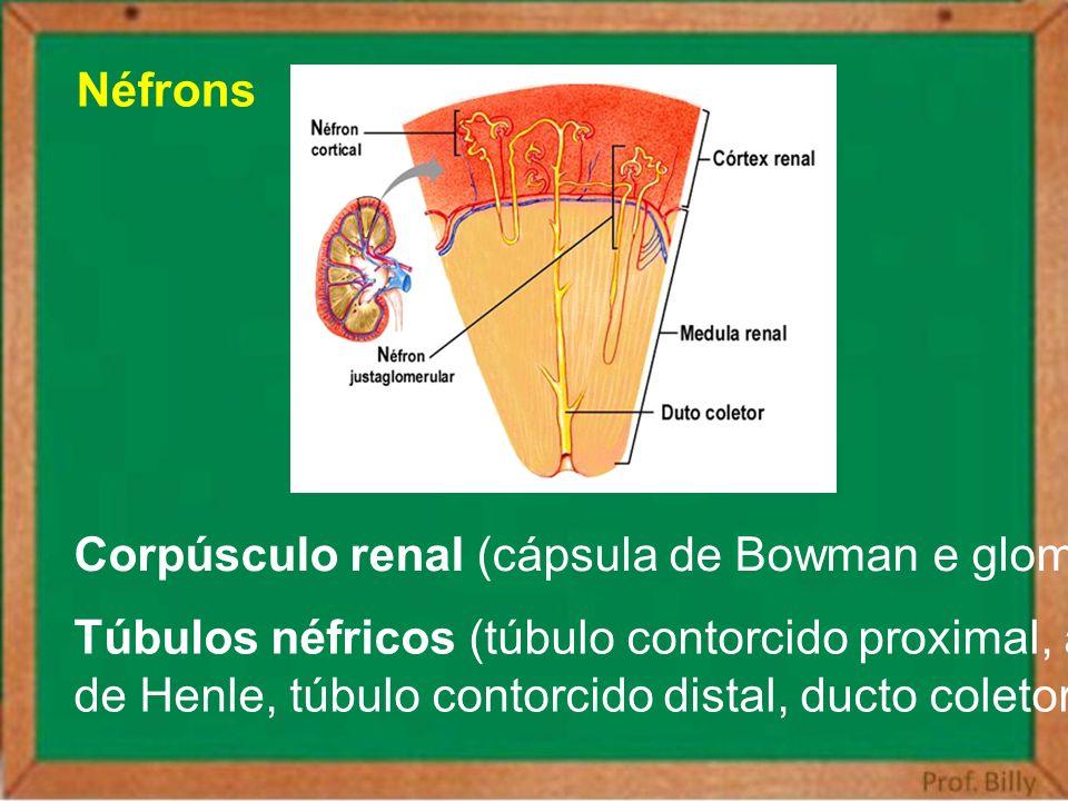 Néfrons Corpúsculo renal (cápsula de Bowman e glomérulo) Túbulos néfricos (túbulo contorcido proximal, alça.