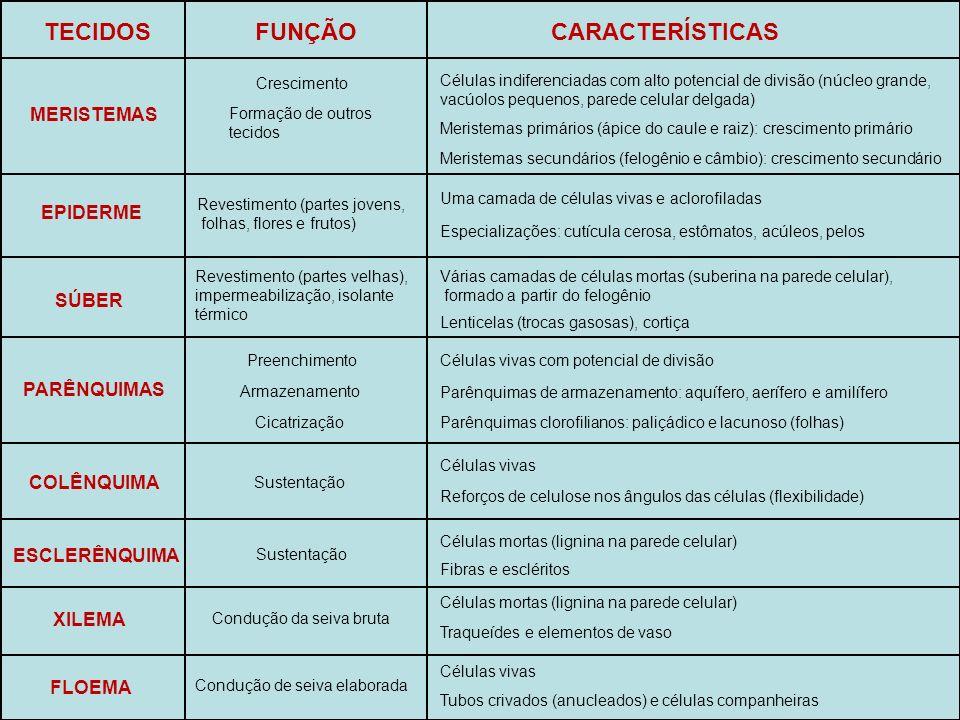 TECIDOS FUNÇÃO CARACTERÍSTICAS MERISTEMAS EPIDERME SÚBER PARÊNQUIMAS