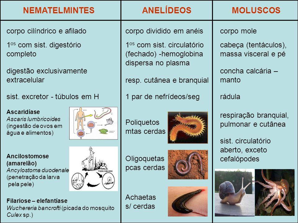 NEMATELMINTES ANELÍDEOS MOLUSCOS corpo cilíndrico e afilado
