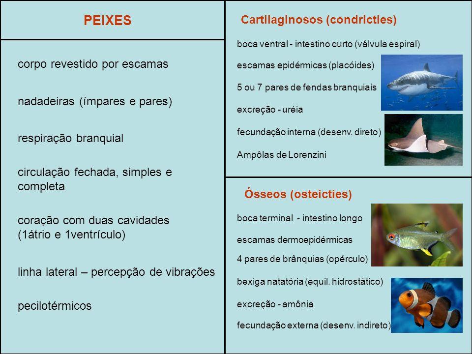 PEIXES Cartilaginosos (condricties) corpo revestido por escamas