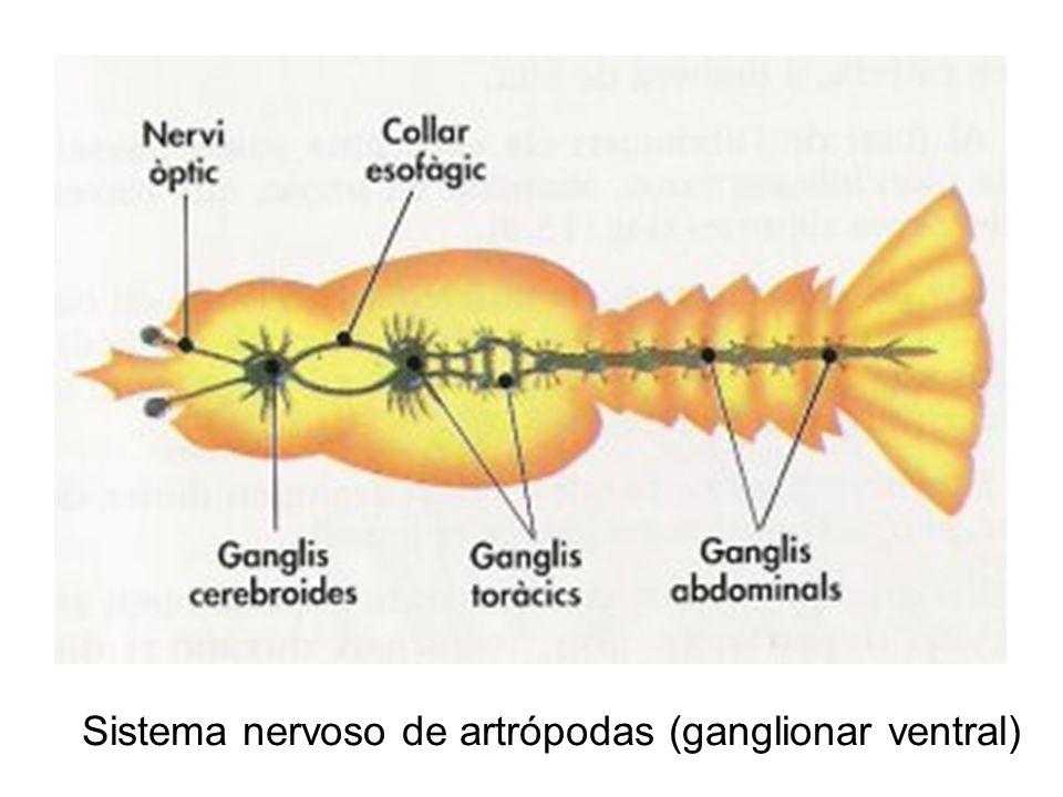 Sistema nervoso de artrópodas (ganglionar ventral)