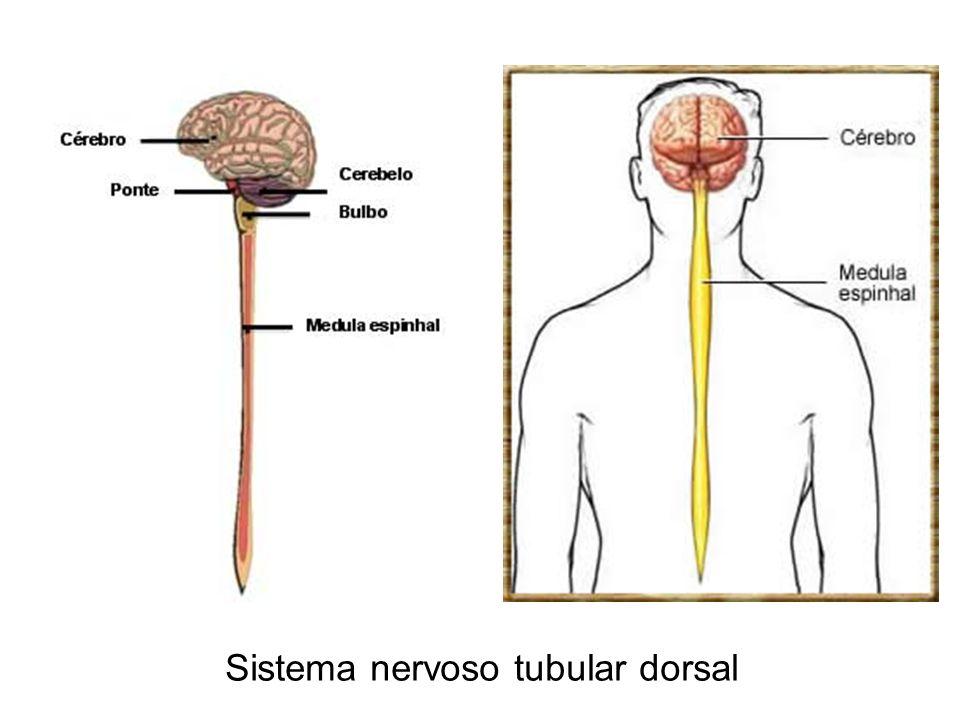 Sistema nervoso tubular dorsal