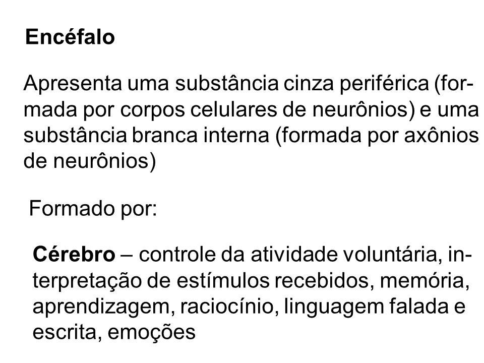Encéfalo Apresenta uma substância cinza periférica (for- mada por corpos celulares de neurônios) e uma.