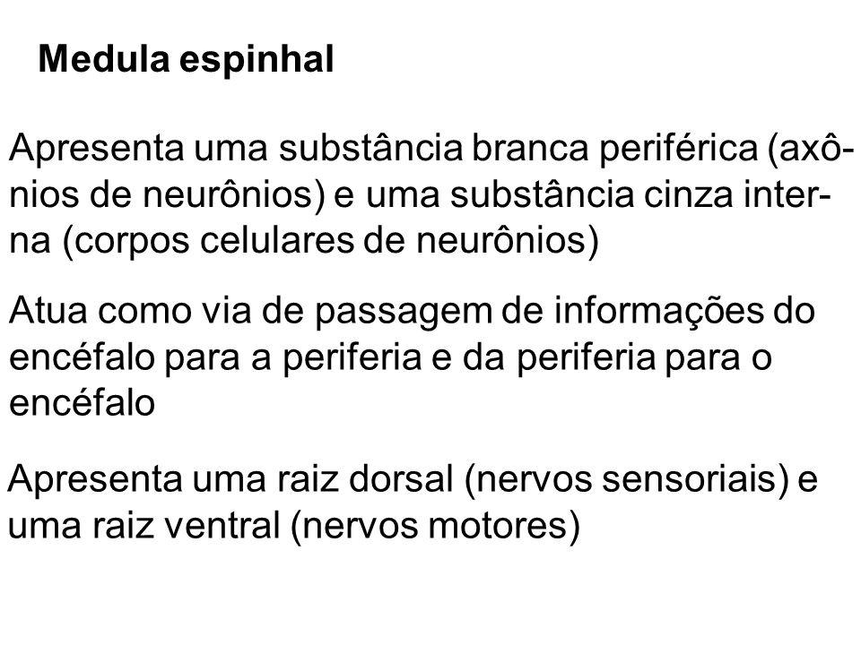Medula espinhal Apresenta uma substância branca periférica (axô- nios de neurônios) e uma substância cinza inter-