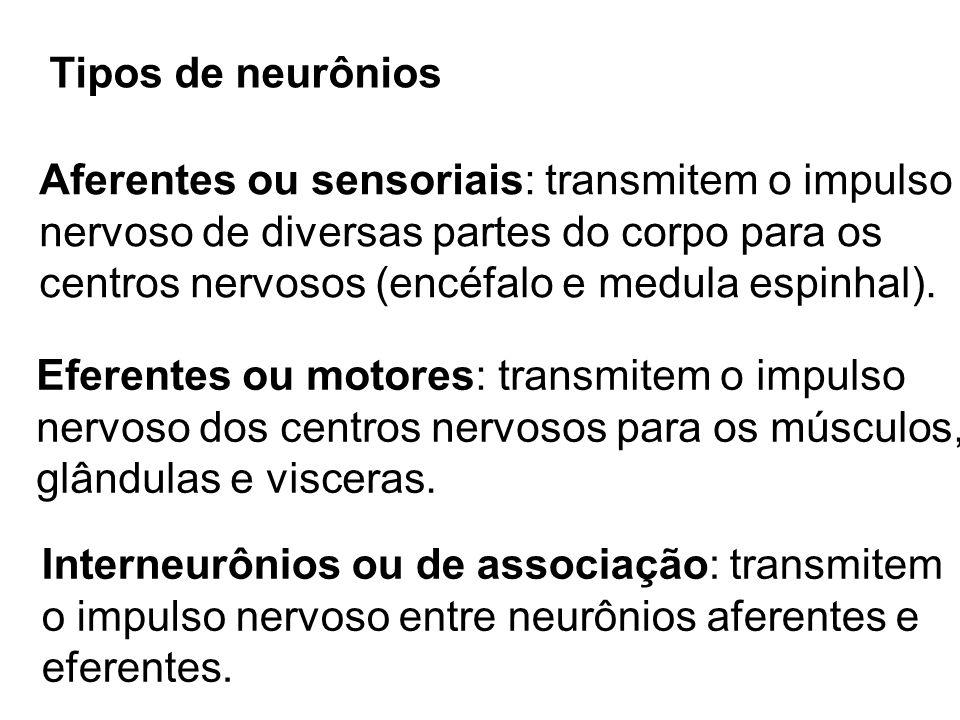 Tipos de neurônios Aferentes ou sensoriais: transmitem o impulso. nervoso de diversas partes do corpo para os.