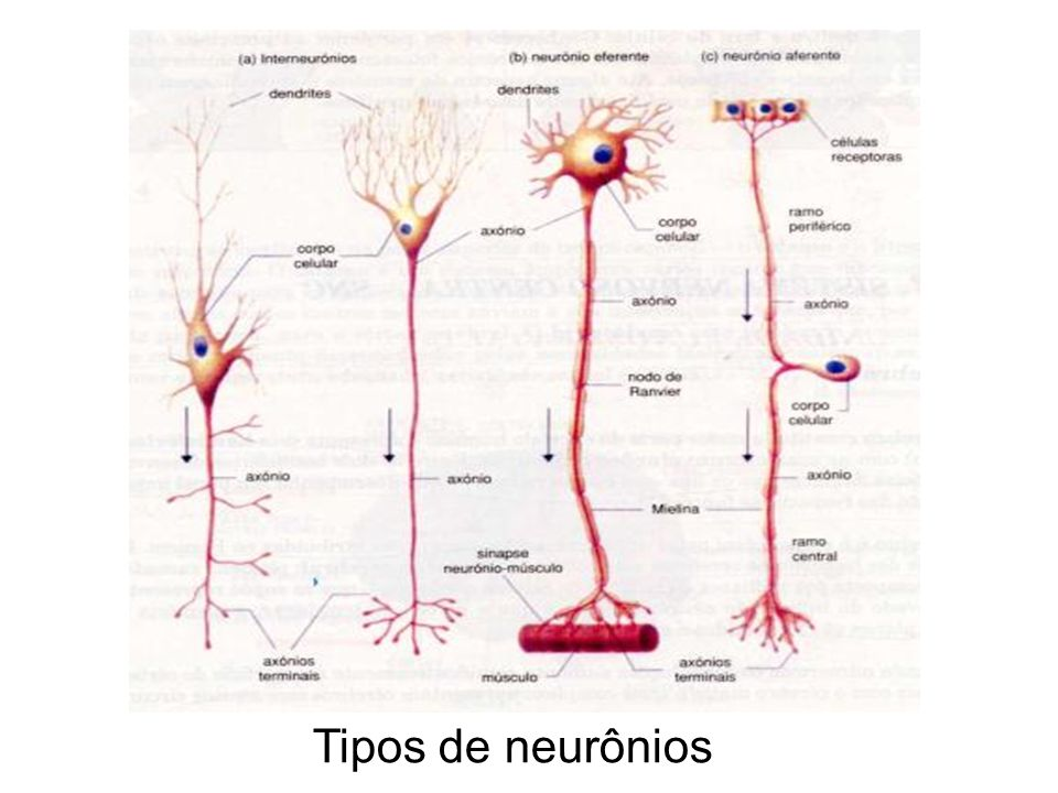 Tipos de neurônios