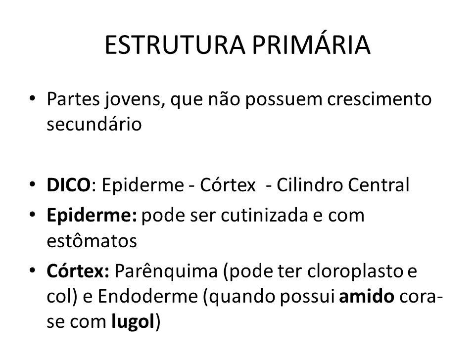 ESTRUTURA PRIMÁRIA Partes jovens, que não possuem crescimento secundário. DICO: Epiderme - Córtex - Cilindro Central.