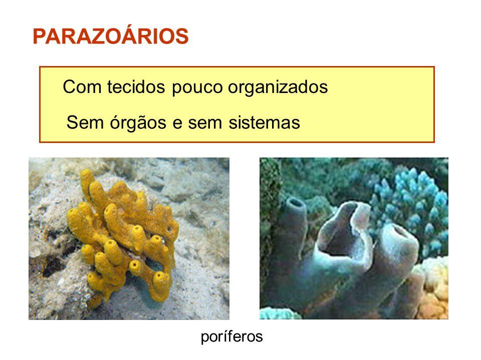 PARAZOÁRIOS Com tecidos pouco organizados Sem órgãos e sem sistemas
