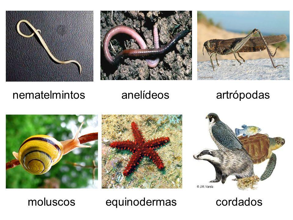 nematelmintos anelídeos artrópodas cordados moluscos equinodermas